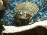 Rùa đồng trong phong thủy tránh hung sát