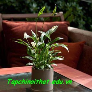 Những loại cây cảnh dễ trồng trong nhà